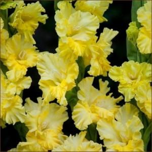 Гладиолус Lemon Tree, , 8.00 грн., 43210, , Гладиолусы