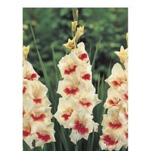 Гладиолус Mary Housley, , 7.50 грн., 00220, , Гладиолусы