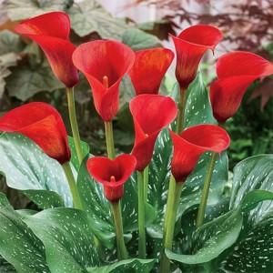 Калла Callafornia Red, , 52.00 грн., 00284, , Каллы