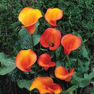 Калла Flame, , 45.70 грн., 00297, , Каллы