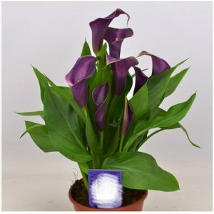 Калла Grape Velvet, , 52.00 грн., 00303, , Каллы