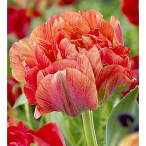 Тюльпан Gudoshnik, , 7.00 грн., 08733, , Махровые поздние