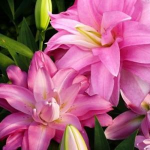 Лилия восточный гибрид махровый Lotus Breeze, , 41.50 грн., 84567, , Восточные гибриды