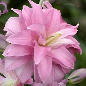 Лилия восточный гибрид махровый Lotus Spring, , 41.50 грн., 45677, , Восточные гибриды
