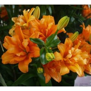 Лилия азиатский гибрид махровый Orange Twins, , 30.80 грн., 00120, , Азиатские гибриды