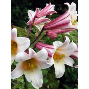 Трубчастая лилия Regale, , 26.00 грн., 09876, , Трубчатые лилии