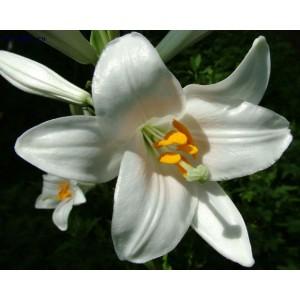 Лилия лонгифлорум Snowqueen, , 16.50 грн., 00156, , Лонгифлорум