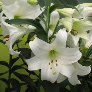 Лилия лонгифлорум White American, , 16.50 грн., 00157, , Лонгифлорум