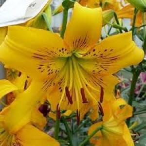 Тигровая лилия Yellow Bruse, , 27.50 грн., 00178, , Тигровые лилии
