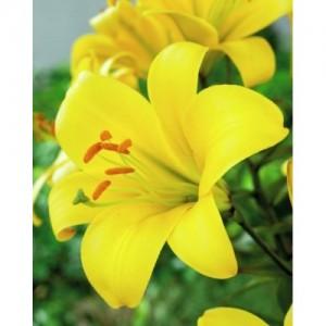 Трубчатая лилия Yellow Planet, , 28.50 грн., 00183, , Трубчатые лилии