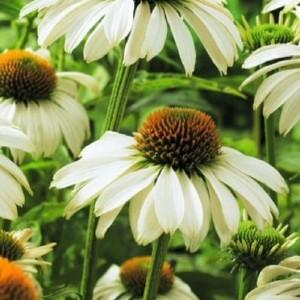 Эхинацея (Echinacea)   Alaska®, , 101.50 грн., 00483, , Эхинацея