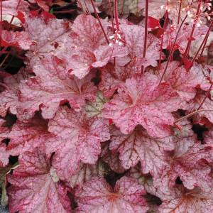 Гейхера (Heuchera)Berry Marmelade®, , 156.00 грн., 00501, , Гейхера