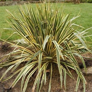 Юкка (Yucca)Bright Edge, , 124.20 грн., 00325, , Юкка
