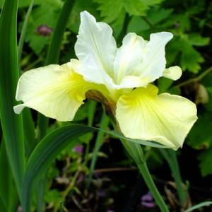 Ирис сибирский (Iris sib.)Chartreuse Bounty, , 38.00 грн., 00515, , Ирис сибирский (Iris sib.)