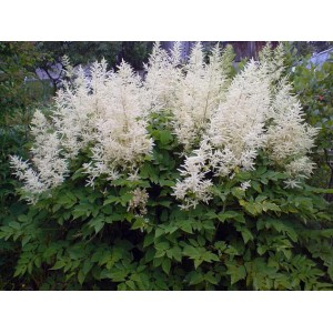 Астильба Арендса (Astilbe) Close Harmony®, , 63.40 грн., 00433, , Астильба Арендса