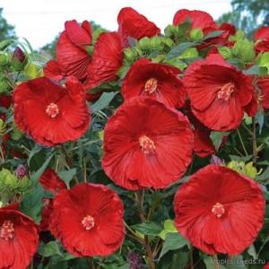 Гибискус (Hibiscus)Cranberry Crush®, , 160.00 грн., 00502, , Гибискус