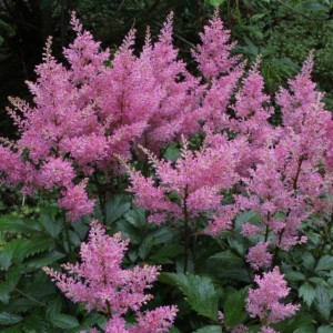 Астильба Арендса (Astilbe) Darwins Dream, , 52.90 грн., 00434, , Астильба Арендса