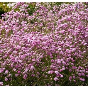 Гипсофила Festival Pink Lady®, , 145.50 грн., 8763, , Гипсофила