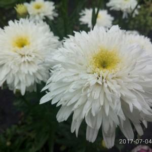 Нивяник (Leucanthemum)Fiona Goghill, , 60.70 грн., 00522, , Нивяник