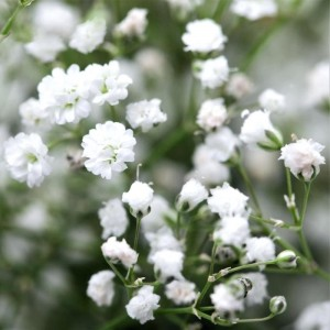 Гипсофила (Gypsophila)White, , 45.00 грн., 00488, , Гипсофила