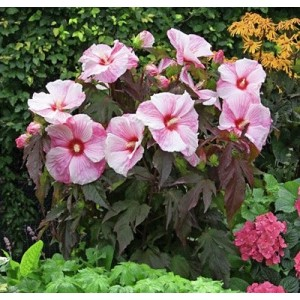 Гибискус (Hibiscus)Kopper King®, , 160.00 грн., 00503, , Гибискус
