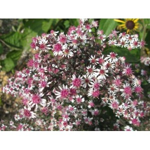 Астра (Aster)	Lady in Black, , 65.00 грн., 00423, , Астра