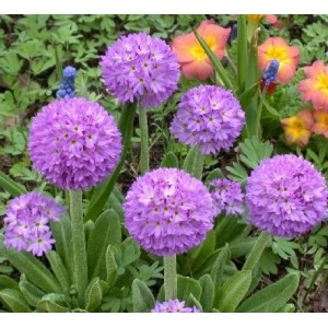 Примула (Primula)Lilac, , 45.00 грн., 00574, , Примула