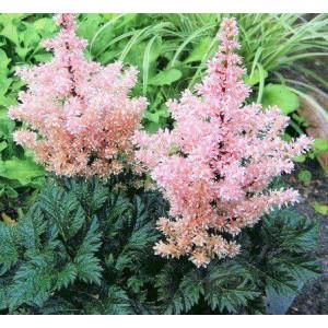 Астильба Криспа (Astilbe) Lilliput, , 72.50 грн., 00452, , Астильба Криспа