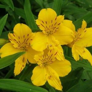 Альстромерия (Alstroemeria)Lutea, , 38.60 грн., 00408, , Альстромерия