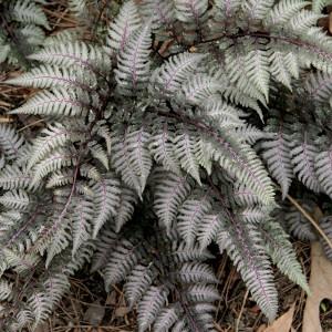 Кочедыжник Metallicum Pictum, , 77.90 грн., 00463, , Кочедыжник