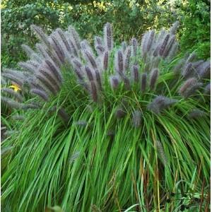 Пеннисетум (Pennisetum)Moudry, , 54.90 грн., 00541, , Пеннисетум