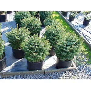 Ель чёрная Nana , , 90.00 грн., 00103, , Декоративные деревя  - кустарники (Украина)