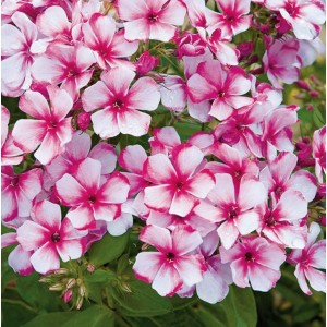 Флокс (Phlox)	Neon Flair®, , 67.50 грн., 00560, , Флокс