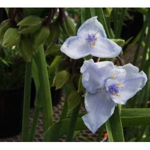Традесканция (Tradescantia) Ocean Blue®, , 51.10 грн., 00588, , Традесканция
