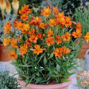 Альстромерия (Alstroemeria)Orange King, , 38.60 грн., 00412, , Альстромерия