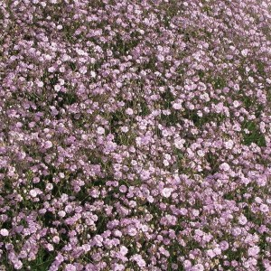Дицентра (Dicentra)Pink, , 41.00 грн., 00482, , Дицентра