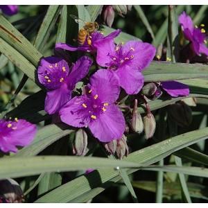 Традесканция (Tradescantia) Purple Dome, , 35.90 грн., 00589, , Традесканция