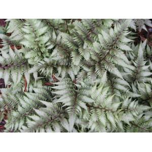 Кочедыжник Red Beauty , , 77.90 грн., 00464, , Кочедыжник