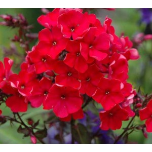 Флокс (Phlox)	Red Girl, , 38.90 грн., 00562, , Флокс