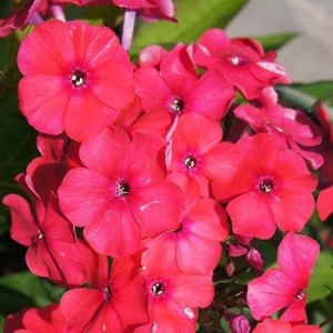 Флокс (Phlox)	Red Riding Hood, , 38.90 грн., 00563, , Флокс