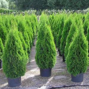 Туя западная Smaragd , , 80.00 грн., 00100, , Декоративные деревя  - кустарники (Украина)