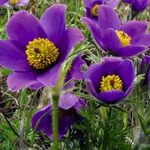 Прострел (Pulsatilla)Violet Bells, , 46.00 грн., 00576, , Прострел