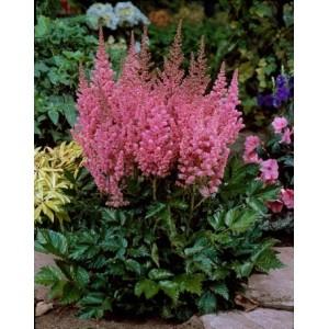 Астильба китайская (Astilbe) Visions in Pink®, , 48.50 грн., 0987, , Астильба китайская