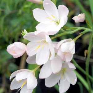 Схизостилис (Schizostylis)White, , 67.50 грн., 00581, , Схизостилис