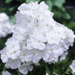 Флокс (Phlox)White Admiral, , 28.90 грн., 00569, , Флокс