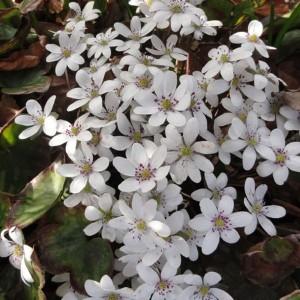 Печеночница (Hepatica)White Forest Hybrids®, , 228.00 грн., 00500, , Печеночница