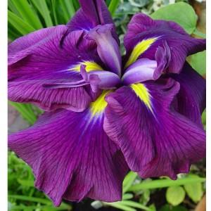 Ирис (Iris ens)Wine Ruffles, , 72.90 грн., 00510, , Ирис (Iris ens)