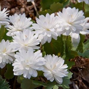 Сангвинария (Sanguinaria)canadensis Flora Plena, , 793.50 грн., 00579, , Сангвинария