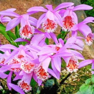 Плейоне (Орхидея садова) formosana, , 145.00 грн., 00542, , Плейоне (Орхидея садова)