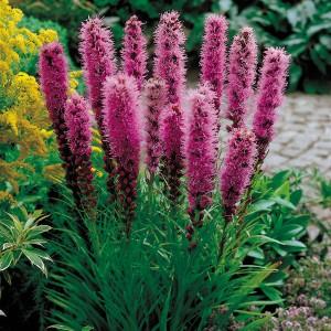 Лиатрис (Liatris)spicata Kobold , , 30.70 грн., 00526, , Лиатрис